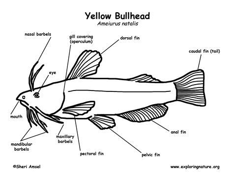 fish diagram coloring page bullhead yellow