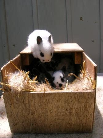 tips for fostering baby rabbits to another nest box show