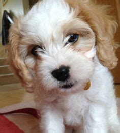 cavachon puppies for sale in pa 1000 images about cavachon fur babies on puppies for sale puppys and