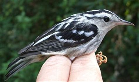 know your coffee birds black and white warbler coffee