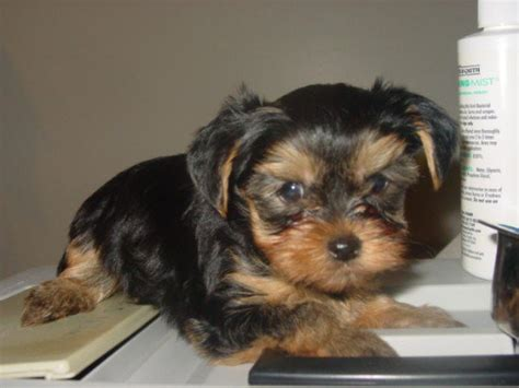 yorkies for adoption in ny akc teacup yorkies for sale adoption from nyc new york adpost classifieds gt usa