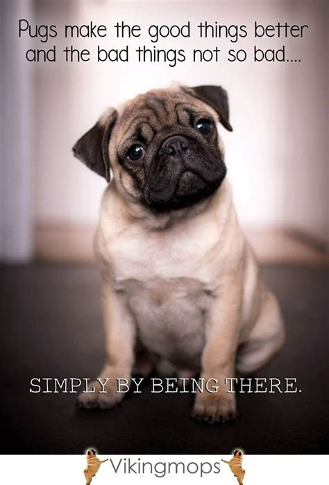 when do pug puppies start walking 17 best images about adorable pugs and pigs on happy pig pug and