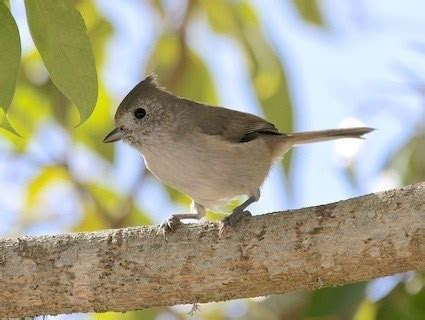 images songbirds in northern california oak titmouse