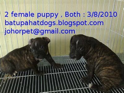 pet shop puppies for sale american pit bull terrier puppies for sale batu pahat