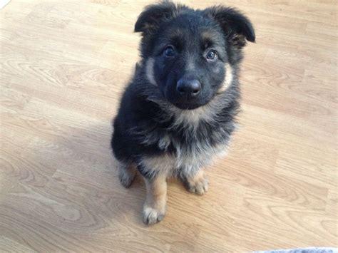 german shepherd puppies omaha german shepherd puppy for sale breeds picture