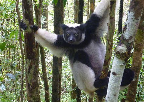 Indri Set indri