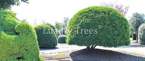 sichtschutz garten hoch sichtschutz aus pflanzen f 252 r garten terrasse 187 luxurytrees 174