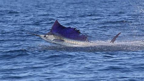pez vela  marlin caracteristicas velocidad extincion  mas