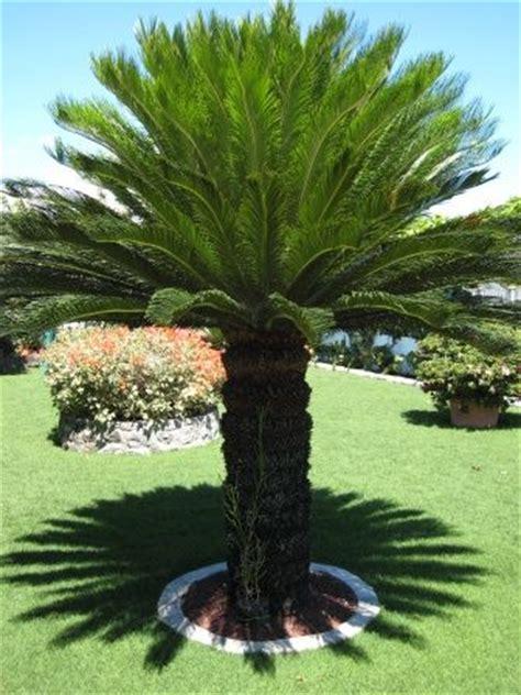 25 best ideas about sago palm tree on pinterest sago palm small palm trees and palm trees