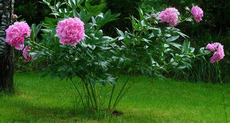 indiana state flower peony proflowers blog