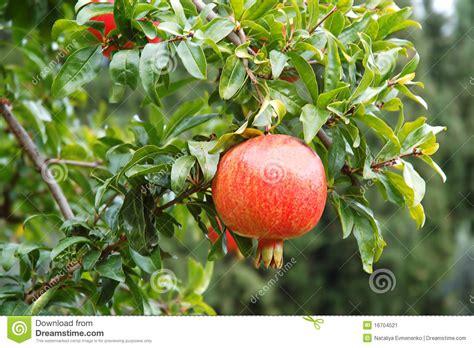 frutti free z price pomegranate fruit stock image image 16704521
