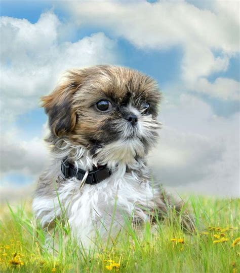 names for shih tzu males shih tzu names names for your pup