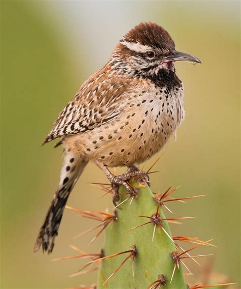 the cactus wren cylorhynchus brunneicapillus is a