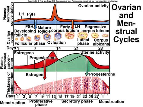 hormone cycle diagram the follicle in ovaries diagram the free engine image