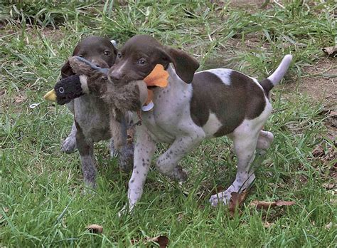bird puppies 216 best german shorthair pointers best dogs images on