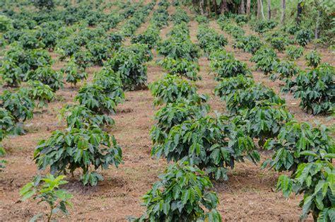 Bibit Kopi Arabika jenis jenis kopi nusantara majalah otten coffee