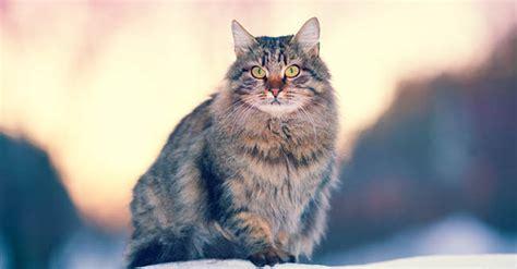 alimentazione gatto siberiano gatto siberiano prezzo alimentazione e carattere