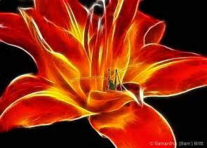 fire lily google search i