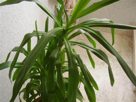 yucca palme im schlafzimmer palme zimmerpflanze raum und m 246 beldesign inspiration