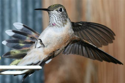 hummingbird metabolism flight and migration ask a