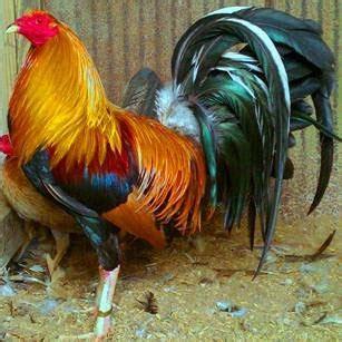 razas de gallos que se juegan en mexico imagen