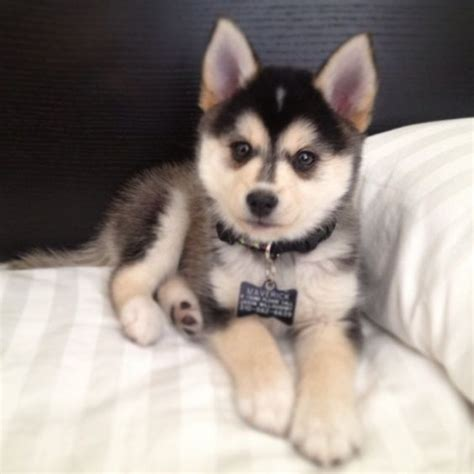 pomeranian and husky pomsky or the pomeranian husky the cutest i am bored