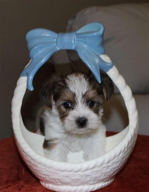 my baby yorkie paws my baby yorkie paws terrier breeder riverside california