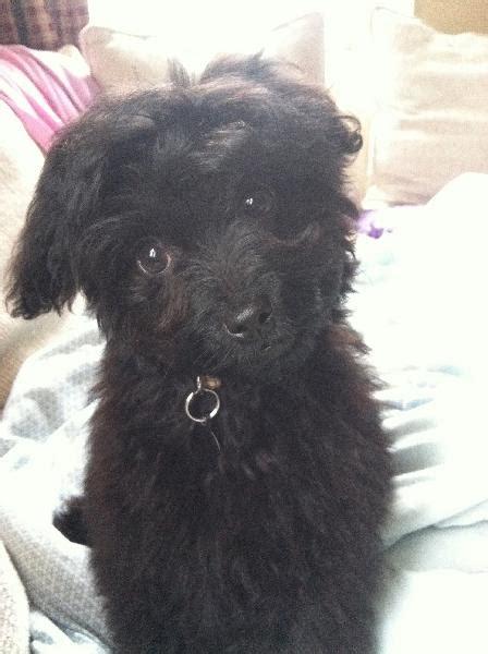 small black puppy lost small black michigan humane society
