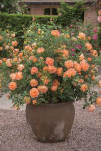 best roses for containers gardening