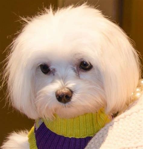 pictures of hairstyles for maltese dogs 23 best maltese grooming hairstyles images on pinterest
