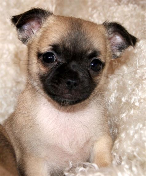 pug x chihuahua puppies chug puppies chug puppies chihuahua x pug breeds picture