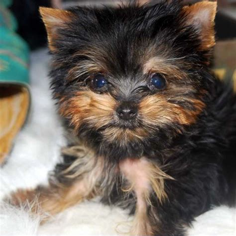 cheap teacup yorkie breeders teacup puppies teacup puppies for sale and morkie puppies on pets world