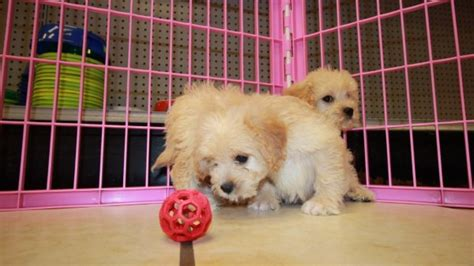 doodle puppies for sale in ga pretty miniature goldendoodle puppies for sale in ga