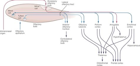 olfactory pathway diagram smell taste ganong s review of physiology