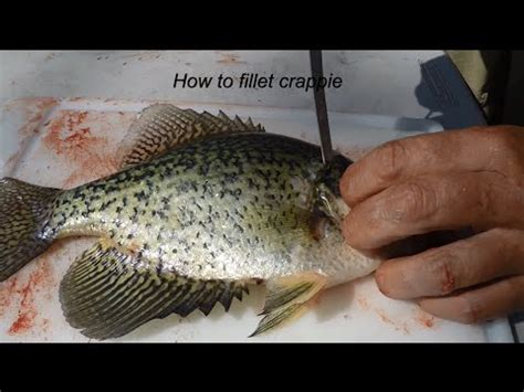 how to fillet a crappie how to fillet crappie like a professional