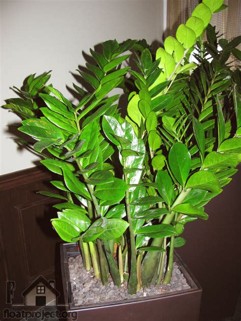 Tanaman Zamia Plant Zz Plant what houseplants to place in the bedroom home designs