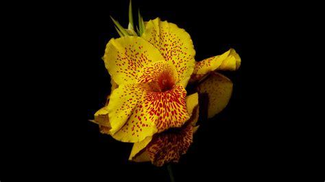 wallpaper canna   wallpaper flowers yellow nature