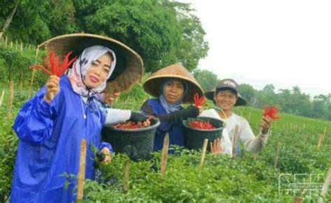 dilema petani hortikultura harga anjlok  cuaca