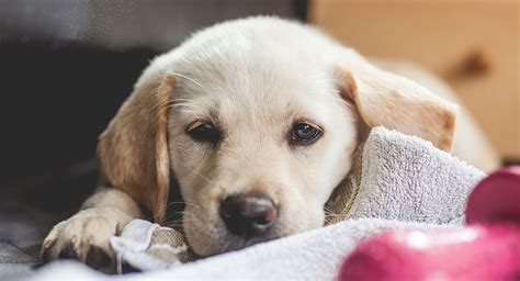 labrador and golden retriever mix puppies goldador the labrador golden retriever mix breed