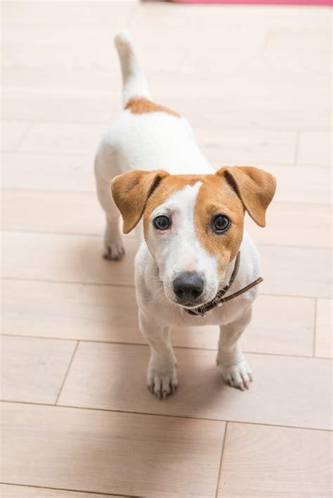 jack russell terrier imagenes jack russell terrier em casa baixar fotos gratuitas