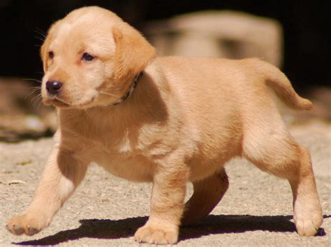 puppy yellow lab 30 best yellow labrador retriever pictures and images