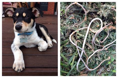 how often to worm puppies gruesome facts on intestinal worms in dogs cats walkerville vet