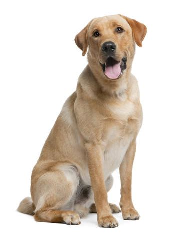 Dog Top 10 Dog Breeds Most Popular Dog Breeds In The U S In