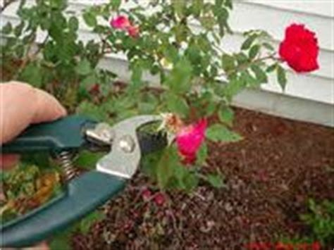 deadheading knockout roses 17 best images about roses on masters