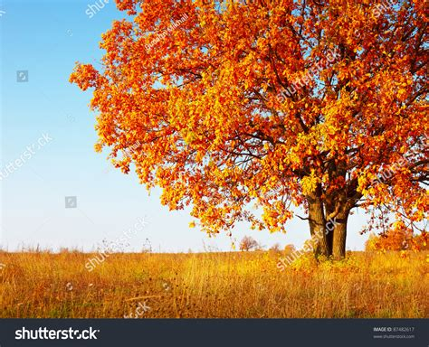 big autumn oak tree with red leaves on a blue sky background stock photo 87482617 shutterstock