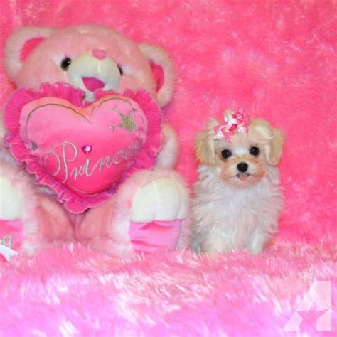 maltipoo puppies for sale in arkansas tiny and teacup maltipoo puppies maltese poodle and up for sale in rogers