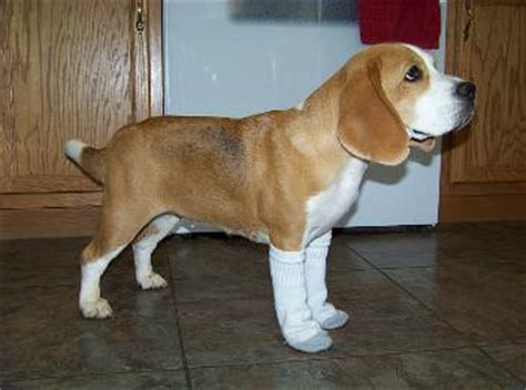 beagle puppies for sale in nc miller beagle pups akc beagles puppies for sale carolina