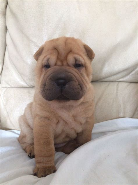 shar pei puppies for sale 6 stunning shar pei puppies for sale lincoln lincolnshire pets4homes