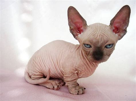 Ugliest Cat Breeds   Cats Types