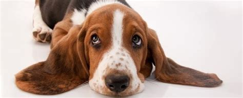 how much are basset hound puppies basset hound dogs and puppies breed journal